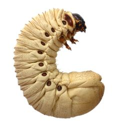 Goliath Beetle larvae, I think Goliath Beetle, Microscopic Photography, Cool Bugs, Beautiful Bugs, Insect Art, Bugs And Insects, Creature Design, Caterpillar, Ants