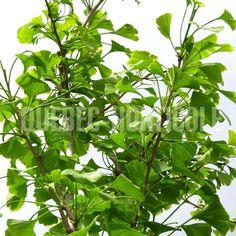 image de Ginkgo biloba Golden Colonnade Plant Leaves, Photos, Plants, Image, Gardens, Index Cards, Pictures, Plant, Planets