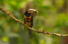 pale-mandibled aracari (Pteroglossus ery Photo by Christian Sanchez — National Geographic Your Shot