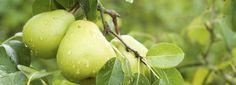Ein regelmäßiger Baumschnitt ist bei der Birne ebenso wichtig wie bei anderen Obstgehölzen. Allerdings gibt es dabei einiges zu beachten.