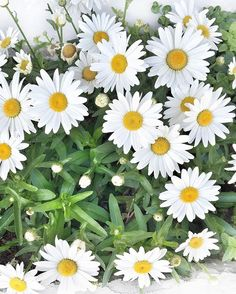 Sprung! Love these daisies