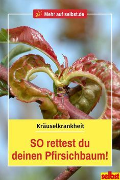 Die Kräuselkrankheit kann Pfirsichbäumen stark zusetzen, bis hin zur Rodung de… The ruffling disease can severely damage peach trees, even clearing the tree. With these tips, you recognize the fungus in time and can fight it! Backyard Projects, Garden Projects, Organic Gardening, Gardening Tips, Organic Farming, Plastic Plant Pots, Tree Pruning, Peach Trees, Garden Maintenance