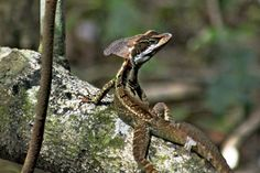 Jesus Christ Lizard in Manuel Antonio Park, Costa Rica is Named for its Ability to Run Across Water