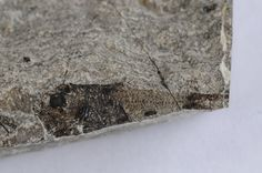 Polyipnus, Oligocene, Menilite Beds, Carpathian Mountains, Poland; Size: Fossil fish is 3,5 cm in lenght; Photo © Albin48