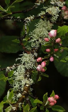 Pink Buds and Lichen