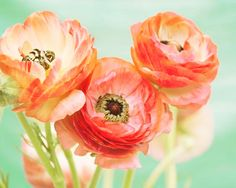 50% Off, Bright Spring Ranunculus Photography, Peach Mint, Flower Photography, Spring Florals, Coral Pastels, Floral Wall Art on Etsy, $15.00