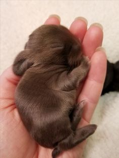 The most perfect little chocolate baby Bunbun ever!
