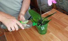 Kyselina jantarová Po tomto prípravku vám budú orchidey rásť ako o život! Už ich pomaly nemám kam dávať | Trendweb | Strana 3 Growing Orchids, Growing Roses, Growing Plants, Indoor Garden, Home And Garden, Garden Inspiration, House Plants, Glass Vase, Flora