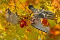 linnut Jaakko Tähti Pyrähdys