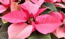 Pink Poinsettia from Cros-B-Crest Farm, Staunton, VA