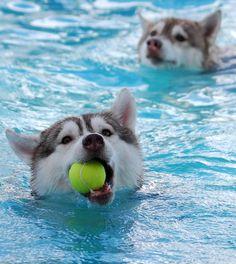 """It's mine"" Sharky - Siberian husky"