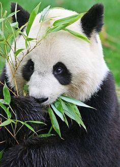 Beim Futtern dieser Panda