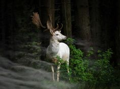 'Morning Hour' - Georg May, Germany.A white fallow deer standing in the morning mist an early morning in Eifel National Park, Germany. One hardly dares to move - can only look fascinated.