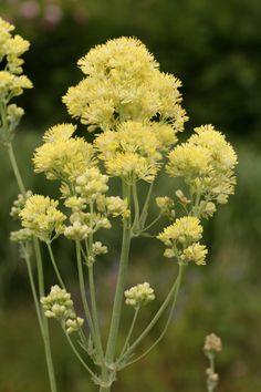 flavum glaucum  (gul frøstjerne)       Blomstring: juni-juli  Højde: 100 cm  Lysforhold: sol
