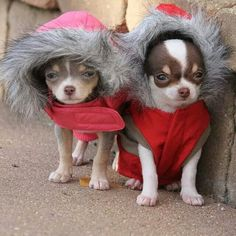 In winter mode: Hot weather dog breeds, like the chihuahua, need winter gear. These dogs are adapted to live in year round hot weather. Made in Mexico! Jackets and sweaters are not just cute ornaments but essential for their comfort and health in temperate climates. Older chihuahuas need it even more! Better yet, move you and your chi to Florida! ;) #dogs #pets #Chihuahuas