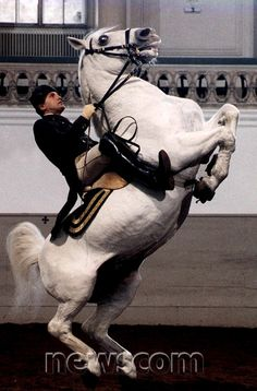 A undated file photo of a world famous Vienna Lipizzaner Spanish Riding School horse.