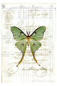 Luna Moth Art Print on Antique Ledger Book Page by TheDecoratedHouse Art Papillon, Image Blog, Etiquette Vintage, Butterfly Art, Green Butterfly, Butterfly Background, Beautiful Butterflies, Medium Art, Vintage Paper