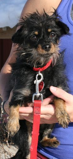 Meet+Angel,+a+Petfinder+adoptable+Yorkshire+Terrier+Yorkie+Dog+|+Park+City,+UT+|+Angel+is+a+5+year+old+Yorkie+mix.+She+is+loving+and+snuggly.+She+can+be+a+little+overwhelmed+by...