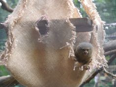 The Titi Leon peeking out of its enrichment activity. Enrichment Activities, Shelter, Wildlife, Shelters, Animals