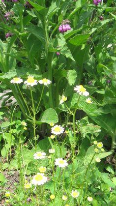 Growing Herbs Indoors, Alternative Medicine, Natural Medicine, Health Problems, Natural Healing, Herbal Remedies, Beautiful Gardens, Harvest, Herbalism