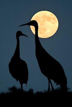 Sandhill Crane's Moonlight Silhouette