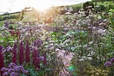 Lupine 'Masterpiece' and Anthriscus sylvestris 'Ravenswing' bloom by the kitchen garden.