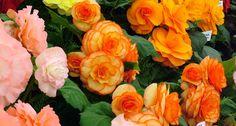 Begônia – dicas para cultivar | Jardim das Ideias STIHL - Dicas de jardinagem e paisagismo