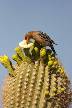 Cactus flowers feed the birds! As flores do cacto alimentam as aves! Cactus flowers feed the birds! Love Birds, Beautiful Birds, Arizona Birds, Arizona Cactus, Desert Animals, Desert Plants, Desert Flowers, Desert Cactus, Tier Fotos