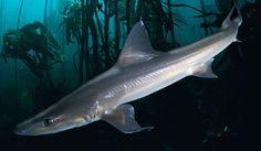 Smooth Dogfish Shark | Life of Sea