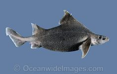 prickly dogfish