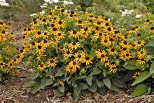 Rudbeckia fulgida var. sullivantii 'Little Goldstar', Black-eyed Susan, Dwarf