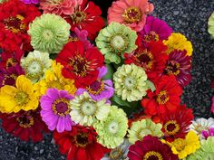 """Zinnia marylandica 'Zahara Mixed' Half-hardy Annual ◾This Zinnia loves the UK weather! Possibly the best mixture of dwarf bedding zinnias available, with an exceptional garden performance. Enjoying hot dry conditions, but also thriving in wet British weather, this vividly colourful mix will flower all summer long. With good disease tolerance, Zinnia 'Zahara Mixed' is ideal for borders or containers. Height and spread: 45cm (18"""")."""