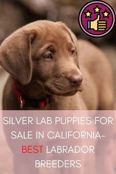 Silver lab puppies for sale in California are a regularly searched topic. We have chosen six best and money-saving locations around California to get a Labrador puppy. These are famous for quality.............. #labradoritejewelry #labradora #labradorretrieversofinstagram #labradorretreiver Labrador Breeders, Labrador Puppies For Sale, Best Puppies, Silver Labrador Retriever, Retriever Puppy, Charcoal Lab, Silver Lab Puppies, Silver Labs, Saving Money