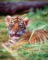 Bengal Tiger Cub  mural