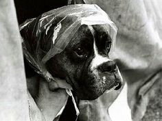 I don't want to ruin my new do! (boxer) my dog would totally let me do this to him - My Old Friend Cleo would have let me too! Boxer Breed, Boxer Puppies, Boxer Rescue, Boxer And Baby, Boxer Love, Funny Boxer, Dog Wear, Family Dogs, Mans Best Friend