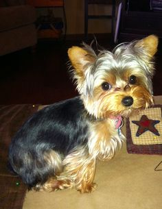 Yorkie If I didn't know better I'd swear this was my Holls.