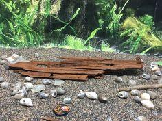 """Aquarium Driftwood 13.5"""" X 3.25"""" X 1.75""""  Malaysian Driftwood  http://www.ebay.com/itm/-/182243822027?roken=cUgayN&soutkn=M8bxl2 eBay #water #fish #akvaryum"""