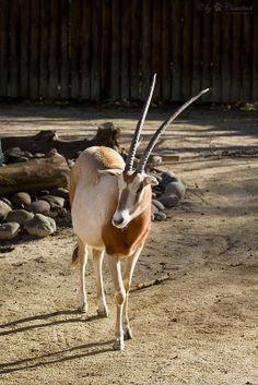 Scimitar oryx or scimitar-horned oryx (Oryx dammah)