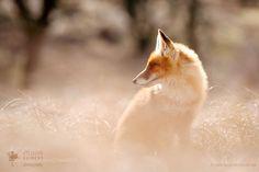 The Dreamer (Roeselien Raimond / FoxNation / La Zorro) #Canon EOS 5D Mark III #animals #photo #nature