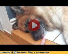 Głośna drzemka Śmieszne Filmy Psy http://Zoomia.pl