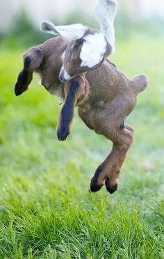 Such a happy goat Cute Baby Animals, Farm Animals, Animals And Pets, Funny Animals, Nature Animals, Wild Animals, Cabras Animal, Mundo Animal, Cute Goats