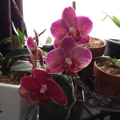 Phalenopsis in bloom Orchids, Bloom, Backyard, Garden, Plants, Patio, Lawn And Garden, Lily, Backyards