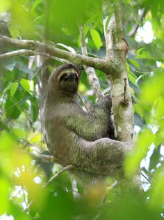 Where to See Sloths in Costa Rica and the best places to see them.