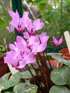 Cyclamen peloponnesiacum04.jpg