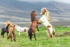 Исландская лошадь.
