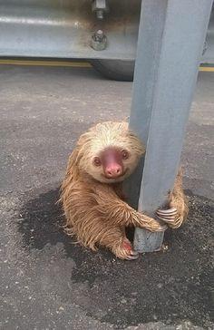 Oso Perezoso aferrándose desesperadamente a una muralla de contención en medio de la carretera conmueve a las redes | Seamos Más Animales... Como Ellos