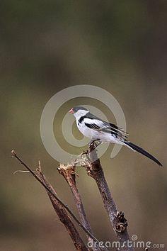 Photo about Pin-tailed Whydah ( male ) ( Vidua macroura ) Liwonde, malawi. Image of beak, wida, africa - 52148491 Photo Pin, Southern, Africa, Birds, Stock Photos, Animals, Image, Animales, Animaux