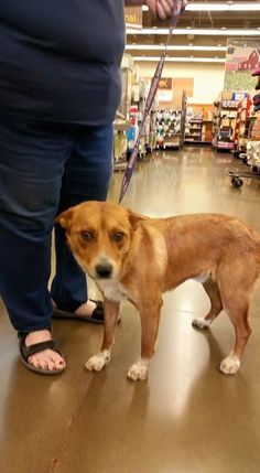 Nick is a Queensland mix.  Our dogs are available for adoption at Petco off Clovis and Herndon every Saturday from 10am-3pm.    On Sundays we are at Petco off Herndon and 99 in the new Target shopping center from 11am-2.45pm.Our doggies are already...