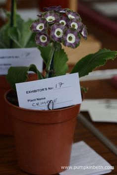 The National Auricula and Primula Society Southern Section's Auricula Show - Pumpkin Beth Primula Auricula, Months In A Year, Bright Eyes, Planter Pots, Southern, Pumpkin, Ears, Theatres, Plants