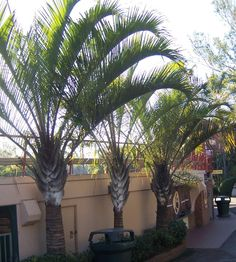 Triangle Palms (Dypsis decaryi) are beautiful specimen palm trees that form a… Tropical Backyard, Backyard Paradise, Tropical Landscaping, Tropical Plants, Garden Landscaping, California Palm Trees, Southern California, Canary Island Date Palm, Garden Landscape Design